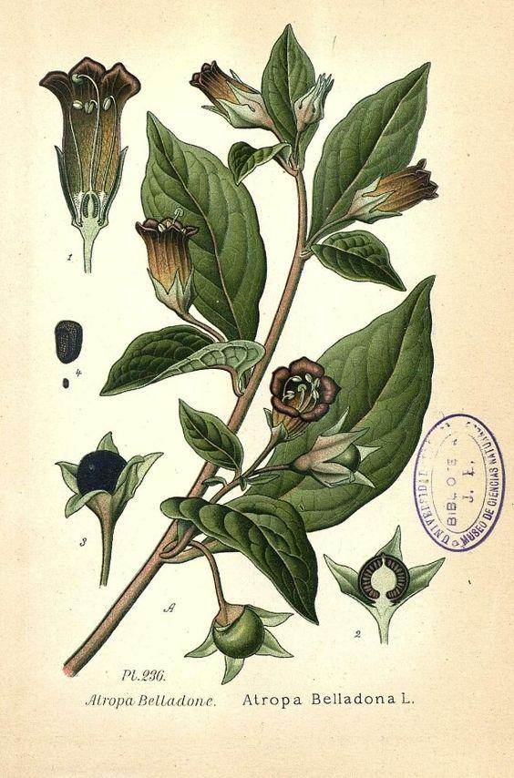 belladonna scheda botanica